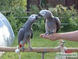 Hand Reared Baby African Grey. - For Sale