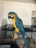 For sale Blue and Gold Macaw