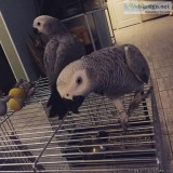African Grey Parrot  Talking Inc Cage N Toys