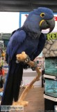 Super tamed Hyacinth Macaw 18months