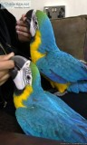 Macaw Baby Blue and Gold Male Hand Raised