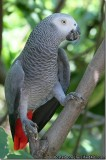 Well Tamed Talking African Grey Parrots