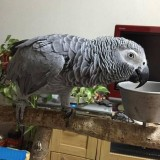 Male and Female African Grey Parrot for Sale