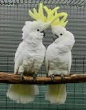 Cockatoo Parrot for sale