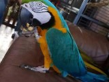 beautiful blue and gold macaw Lora