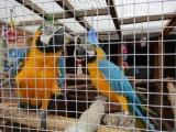 Beautiful and Talking Blue and gold Macaw