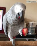 Healthy african grey and macaw