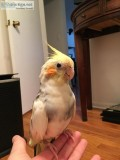free cockatiel to home with quarantine or no other birds.