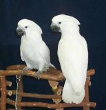 Lovely Cute Umbrella Cockatoo  Timneh and Congo African Gray