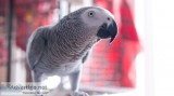 African Grey Parrot for sales....