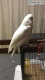 Adorable and Friendly Goffin Cockatoo is Avaible.