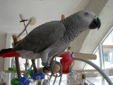 Tame Baby African Grey