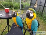 2-3 Years Old Macaw Parrots for Sale