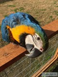 We Have Blue and Gold Macaws Parrots Available