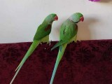 20 Months old-Super Silly Tame Alexandrine Parrot