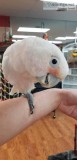 Adorable and friendly Goffin cockatoo