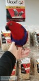 Beautiful Eclectus female