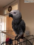 Gorgeous Well Trained African Grey Full Set Up