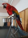 beautiful Scarlet Macaw