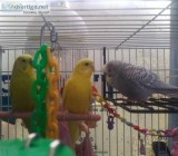 Re-homing 3 Parakeets With or Without Cage