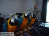 Blue and Gold macaw Parrots (Rescue)