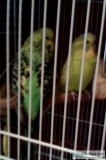 male and female budgies &pound36 for the pair ..