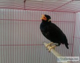 friendly amazing talking mynah birds ready