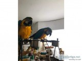 Blue and Gold Macaws (Rescue)