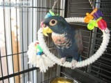 Bronze-Wing Pionus parrots For Sale