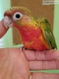 Red Factor Pineapple Green Cheek Conures for Sale