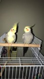 adorable cockatiels