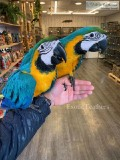 Whelming Blue and Gold macaws ready