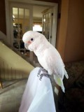 cockatoo birds is available