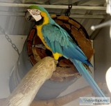 4 Year Old Blue And Gold Macaw Text  667-803-0664