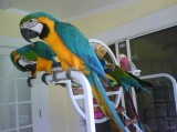 Are You  Looking For A Blue and Gold Macaw  Text  667-803-0664