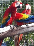 Charming And Obedient Celebrity Scarlet Macaw Parrots Available