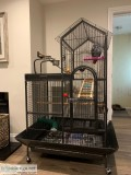 Tamed and talking african grey parrots f
