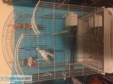 Parakeets with Cage and Accessories