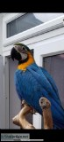 Supertame Blue and Yellow Macaw