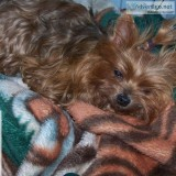 Lost  year old Yorkshire Terrier