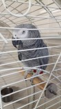 African grey parrot very tame inc cage n