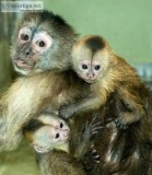Capuchin monkey for rehomingcapuchin mon