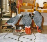 MDXG African grey Friendly MF parrots
