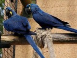 Oklahoma Lovely Pair of Hyacinth Macaw Available