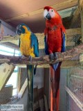 CUCU Scarlet Macaws and Blue Throat Macaws