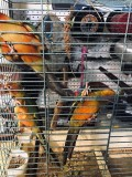 Hand Tame Baby Sun Conures for Sale