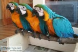 ready Macaw Blue and Gold