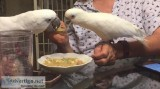 Fully Fearthered Cockatoo parrots