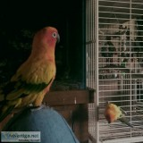 Two adorable Sun Conure and cage