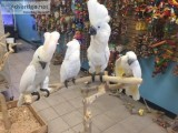 UMBRELLA COCKATOOS 4 REHOMING